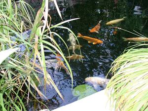 Bild 4 der teich nach dem ersten umbau